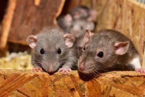 se debarrasser des souris